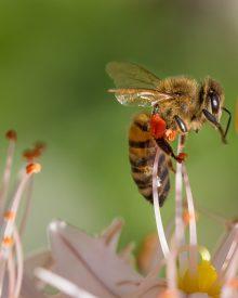 Les abeilles, des sentinelles en péril