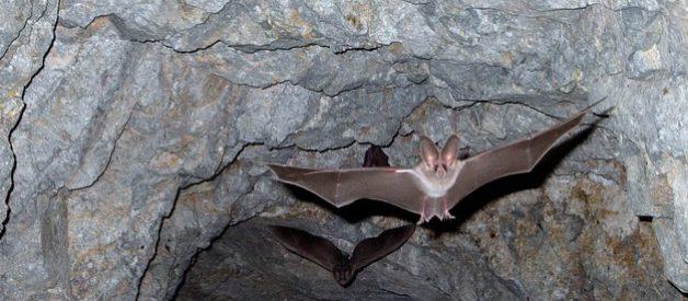 La chauve-souris, un attachant vampire