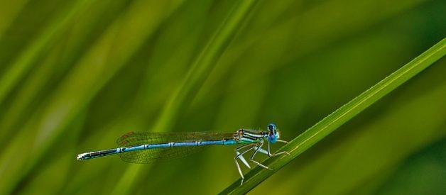 La libellule, le plus grand insecte de tous les temps