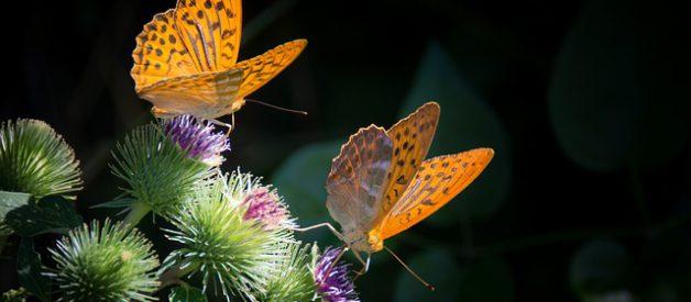 Les papillons, des animaux menacés par la pollution